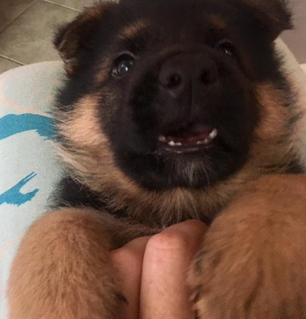 Puppies Vom Zeder Haus German Shepherd Dogs Ky